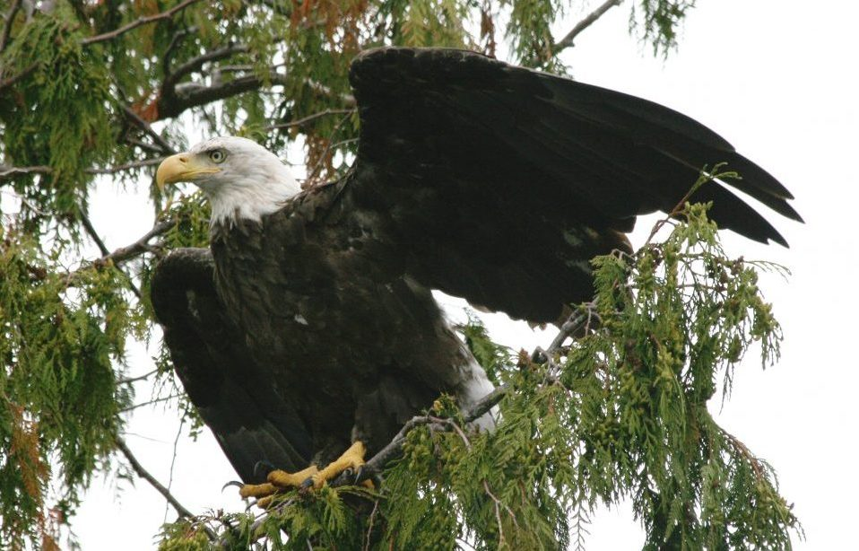 Bald Eagle sitting on a branch, lifting its wings for take off