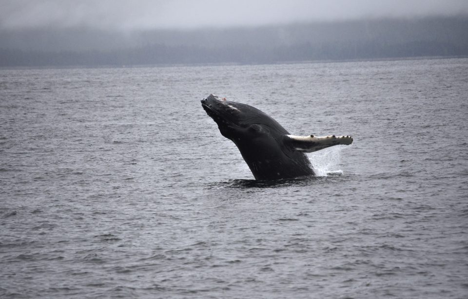 Humpback whale breaching water on its back