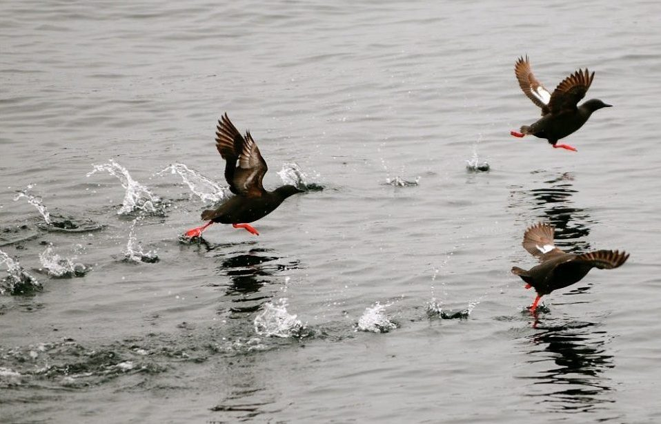 Ducks skidding across water as they land