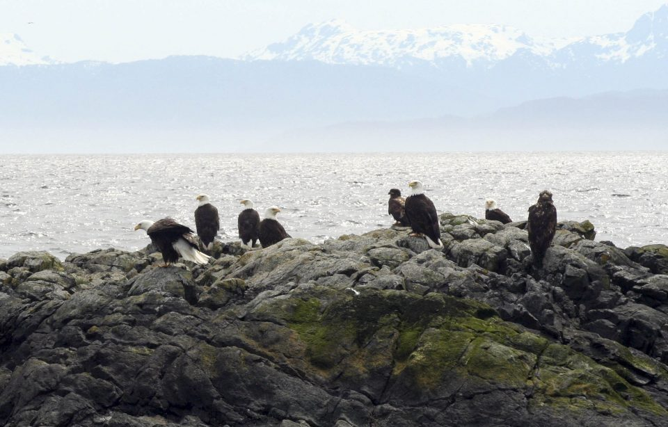 Eagles perched on a rocky shore cliff